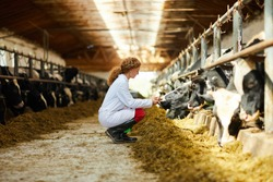 Side view portrait of cute female veterinarian caring for cows sitting down in sunlit barn, copy space