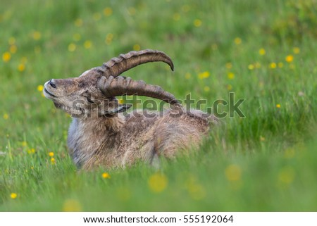 Side view portrait of natural alpine ibex capricorn in grassland #555192064