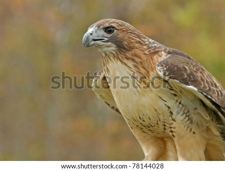 Side View Red Tail Hawk