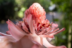 Sideview of brightly lit pink torch ginger flower in natural surrounding with green vegetation background