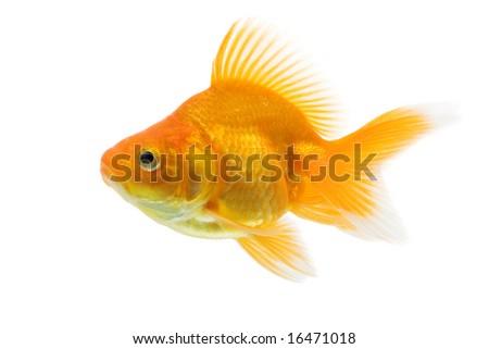 Sideview of ryukin goldfish swimming against white background.