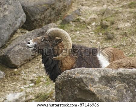 sideways portrait of a male mouflon in stony ambiance - stock photo