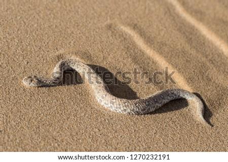 Sidewinder Adder Snake