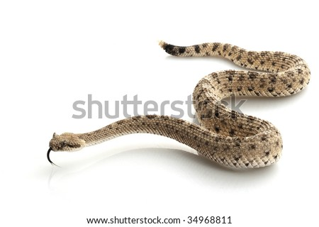 Sidewinder (Crotalus cerastes) isolated on white background.