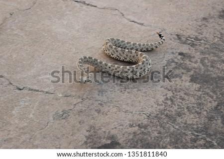 Sidewinder Locomotion of a Sidewinder Rattlesnake