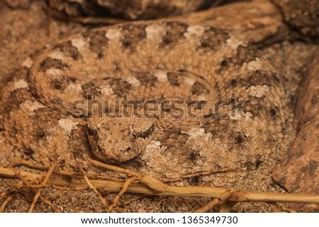 Sidewinder rattlesnake, crotalus cerastes in a zoo exhibit.