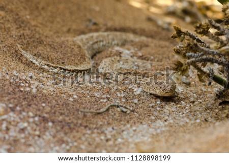 sidewinder snake near swakopmund