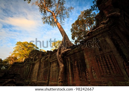 SIEM REAP, CAMBODIA: A tree grows on top and down the sides of a temple wall at Angkor Wat.