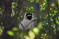 Sifaka Verro, or crested sifaka, or crested indri (Propithecus verreauxi) sits on a tree. Madagascar.