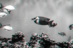 Siganus vulpinus Fox Face fish in the water in the aquarium. Black and white photo with 3D glitch effect and virtual reality