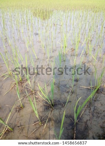 Sight of planted pants of rice in an Indian plants