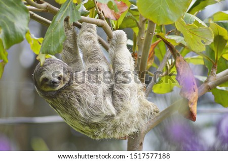 Sighting of a beautiful young adult sloth, grey and white, three toed sloth playing in lush green trees in Costa iRica, Central America, Amazon, Amazonia