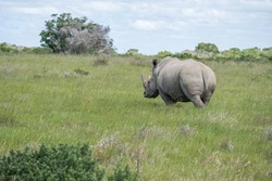 Sighting of a White Rhino in the veld from behind
