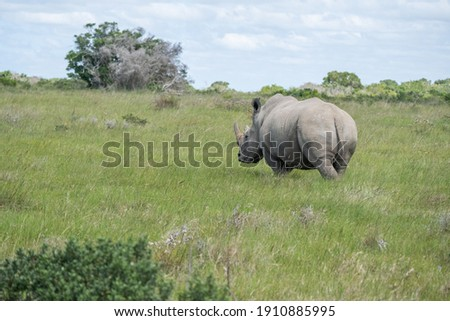 Sighting of a White Rhino in the veld from behind Stockfoto ©