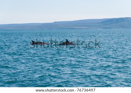 Sighting of two whales in the sea of Usavik in Iceland