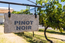Sign of Pinot Noir wine grape variety against the background of vine plants in a vineyard