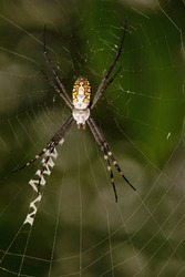 Signature Spider on web, Argiope aurantia, West Bengal, India