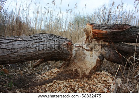 Signs of beaver around Gnawed tree shows the power of a beavers teeth Background showing habitat of this rodent taken in Ukraine