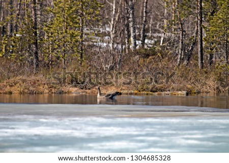 Stock Photo Signs of spring for Earth watchers. Forest lake in Lapland and sun's rays, Shore clearing form, submerged land-fast ice overnight. Came the first geese (Bean goose)