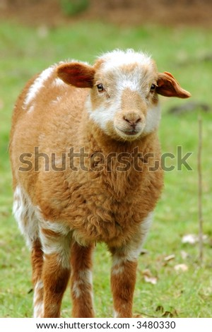 Signs of spring to come, innocent newborn lamb.  Growth, diversity concept. - stock photo