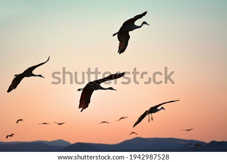 sihouette of sandhill cranes at sunset against a mountain backdrop coming in for landing in a corn field in wingter in the bosque del apache national wildlife refuge near socorro, new mexico  Foto stock ©