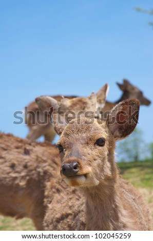 Sika Deer against clear blue sky.