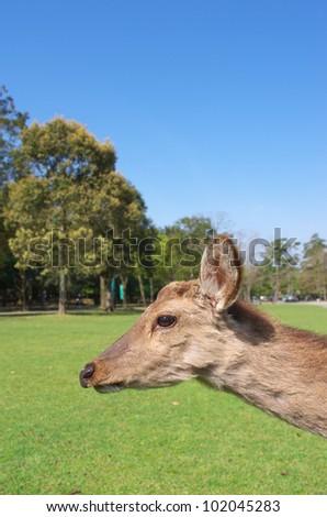 Sika Deer against clear blue sky.
