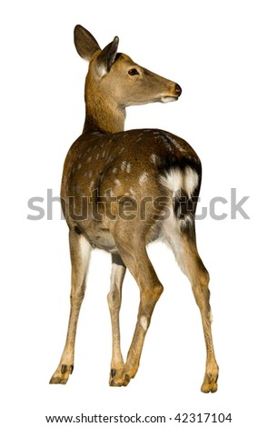 Sika Deer (Cervus nippon) against a white background. - stock photo