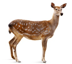 Sika Deer in front of white background, isolated.  The deer has turned a head and looks in a camera.