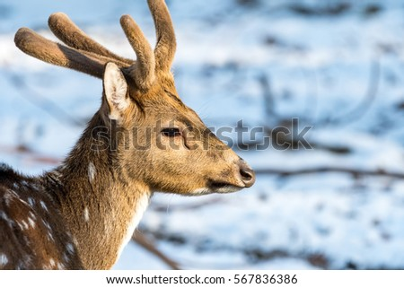 Sika deer with snow in blurry backgound in the wild nature #567836386
