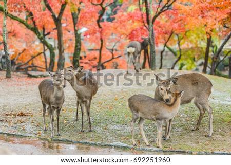 Sika Deers Roaming and Feeding at Autumn Raining Field, Nara Public Park, Nara, Japan