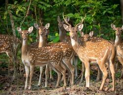 Sika or spotted deers herd in the jungle. Wildlife and animal photo. Japanese deer Cervus nippon