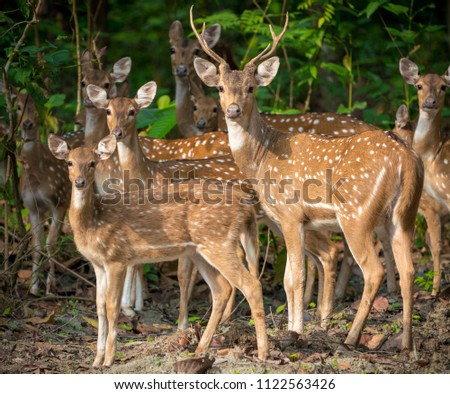 Sika or spotted deers herd in the jungle. Wildlife and animal photo. Japanese deer Cervus nippon #1122563426