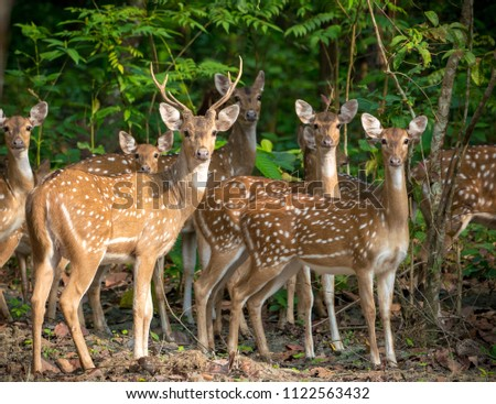 Sika or spotted deers herd in the jungle. Wildlife and animal photo. Japanese deer Cervus nippon #1122563432