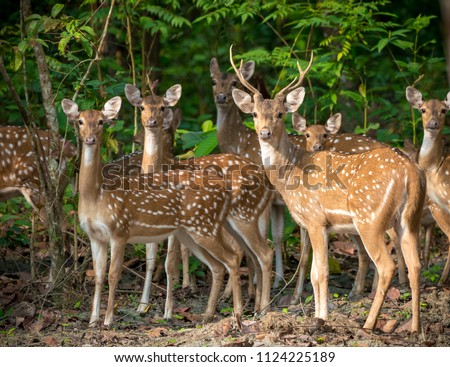 Sika or spotted deers herd in the jungle. Wildlife and animal photo. Japanese deer Cervus nippon #1124225189