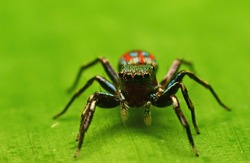 Siler semiglaucus,the metallic jumper,colorful jumping spider jade jumping spider is a species of spider of the genus Siler. It is found throughout India to Philippines.Jade jumping spider in Thailand
