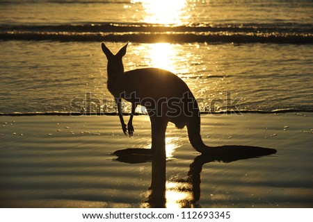silhouette australian eastern grey kangaroo on beach at sunrise, mackay, north queensland, australia