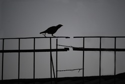 Silhouette bird. Crow is walking on the black fence with copy space
