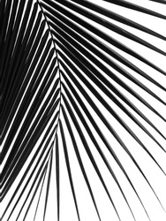 silhouette coconut leaf isolated on white background