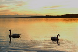 Silhouette couple swans floats on lake at sunset, as background