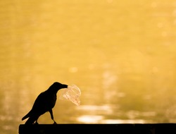 Silhouette crow with plastic bag in mouth