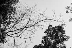 silhouette dry tree branch with sky on background in black and white tone