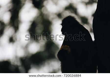 Silhouette dusky leaf langur monkey up on a tree #720026884