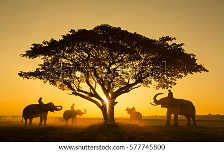 Silhouette elephant on the background of sunset,elephant thai in elephant village surin thailand.