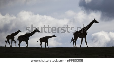 Silhouette Family of African Giraffes Walking on Ridge Top With Clouds Behind