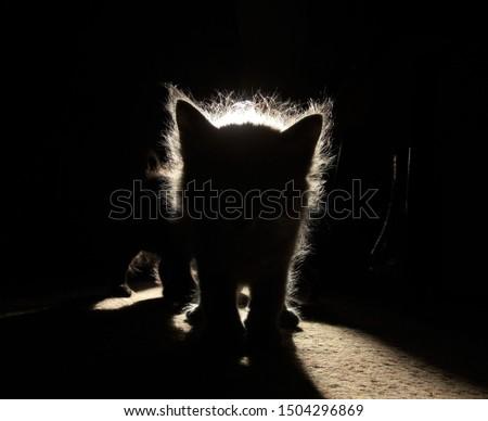 Silhouette Fluffy Kitten against the sunlight  #1504296869