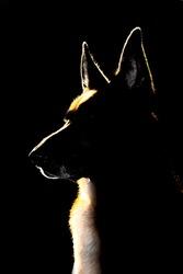 Silhouette, graphic of german shepherd dog.