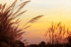 silhouette grass flower when the wind blows in the evening  with beautiful red sky at countryside of Thailand