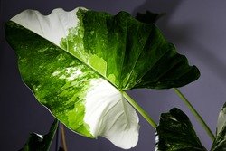 silhouette leaf of Alocasia macrorrhizos variegated in house, light from lamp.