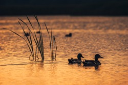 Silhouette look on the ducks in the lake water during the sunrise.